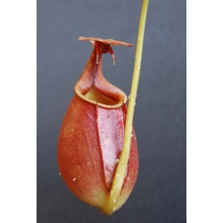 Nepenthes bicalcarata | Orange Brunei || 10-15 cm