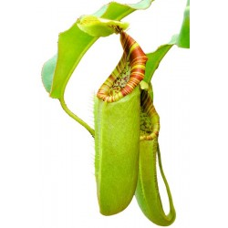 Nepenthes chaniana x veitchii |5-10 cm|