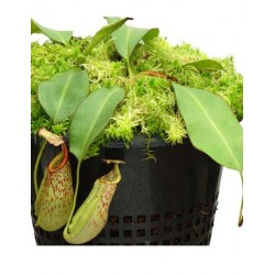 Nepenthes glandulifera x veitchii |5-9 cm|