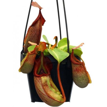 Nepenthes robcantleyi x veitchii |5-9 cm|