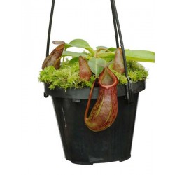 Nepenthes burkei x robcantleyi |5-9 cm|