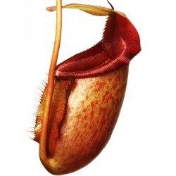 Nepenthes rajah x mira