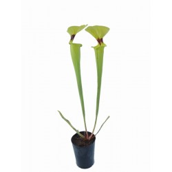 Sarracenia flava var rugelii (Highway 65, Dorchester Country, Florida, USA)