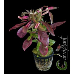 "Alternanthera reineckii ""red"""