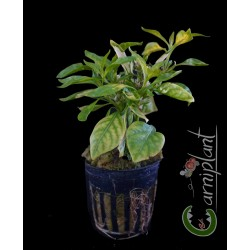 "Alternanthera reineckii ""green"""