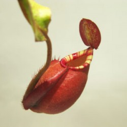 """Nepenthes mirabilis """"Wings"""" x ampullaria """"Black miracle"""""""