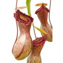Nepenthes ventricosa Majda-as BE3278