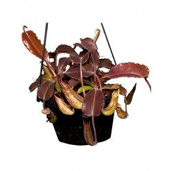 Nepenthes maxima