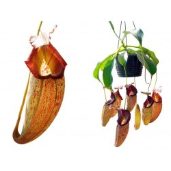 Nepenthes talangensis x robcantleyi |5-9 cm|