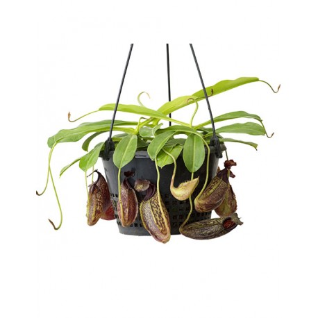 Nepenthes maxima x aristolochioides