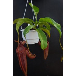 Nepenthes boschiana x mira